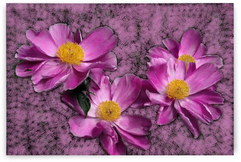 Peony Flowers by PitoFotos