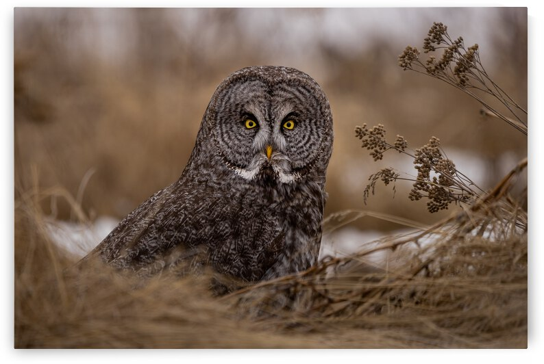 Great Grey in Grass by Pete Nuij Photography