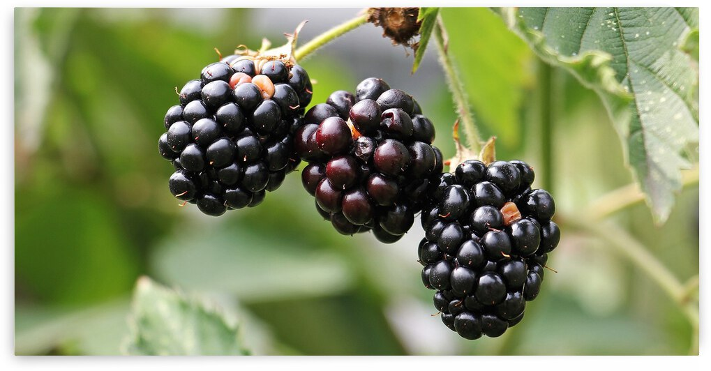 blackberries  by Saqib Pervaiz