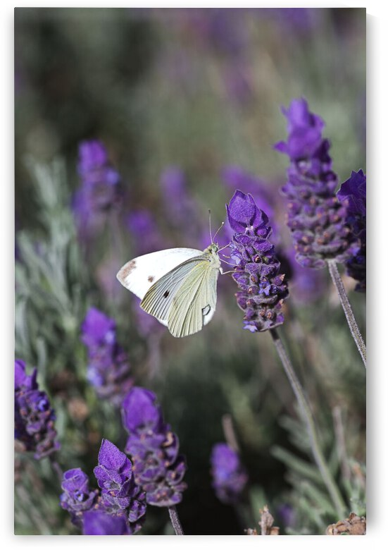 Purple Lavender With Cabbage Moth  by Joy Watson