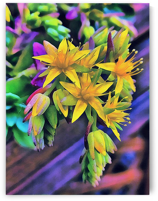 Yellow Blooming Echeveria Hybrid by Dorothy Berry-Lound