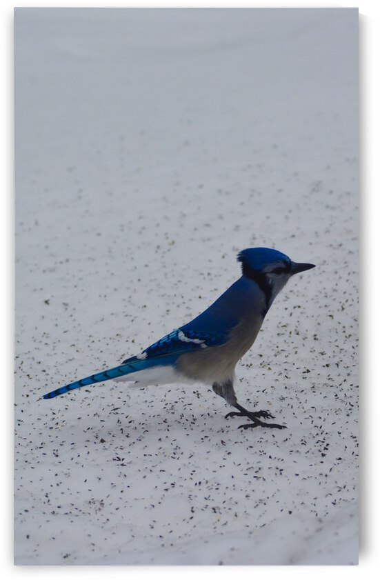 Blue Jay by Jerrid Lavoie
