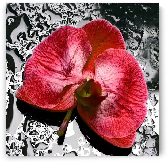 Red Orchid on Wet Glass 1x1 by Veratis Editions