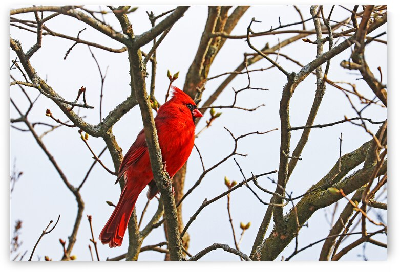 Northern Red Cardinal In The Spring Lilac by Deb Oppermann
