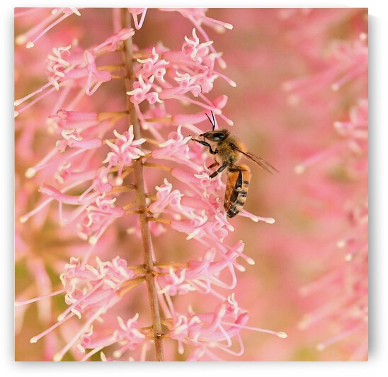 Pink Bee by H.Hart Photography