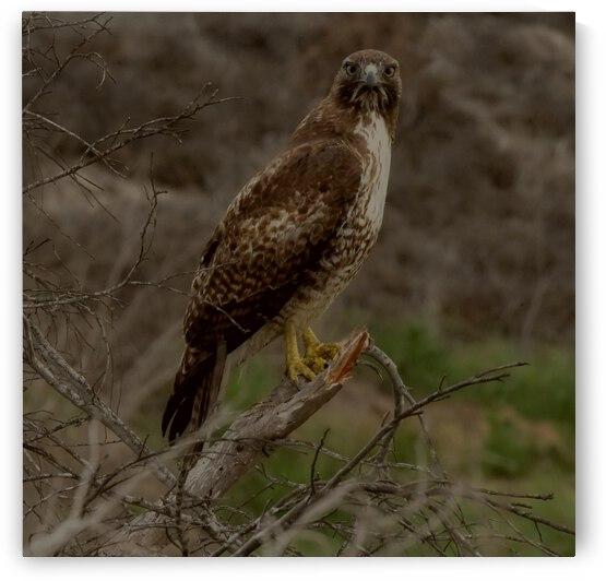 Hawk Eye by H.Hart Photography