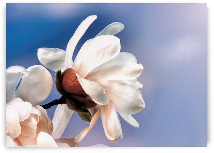 Spring magnolia blossom by Photography by Janice Drew