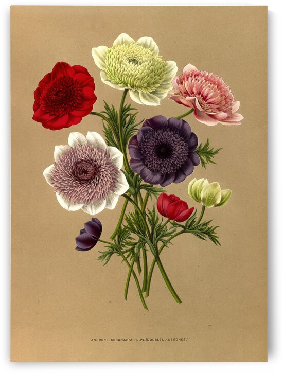 Arentine H Arentsen Anemone Coronaria Fl Pl Doubles Anemones 1872 by TOPARTGALLERY