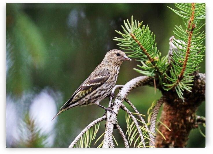 Pine Siskin In Spruce Tree by Deb Oppermann