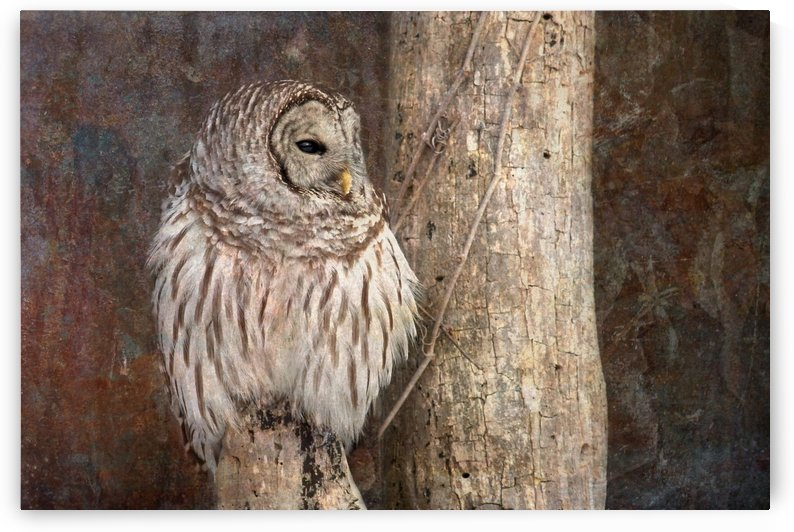 Barred Owl in Grunge by Michel Soucy