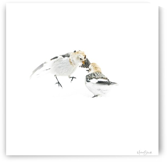 Snow Buntings - MSP21117 by MICHAEL SCHMIDT PHOTOGRAPHY