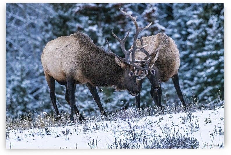 Bull Elk Wrestling - MSP21126 by MICHAEL SCHMIDT PHOTOGRAPHY