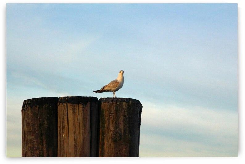Sea Gull  by Bob McCulloch