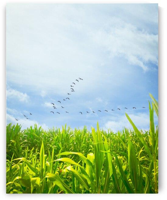 Midsummer Cornfield by Bob Orsillo