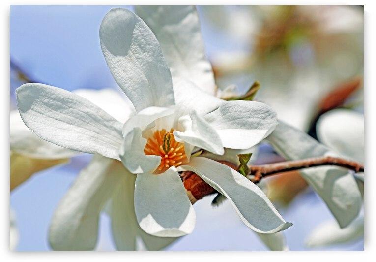 Bright White Magnolia Blossom by Deb Oppermann