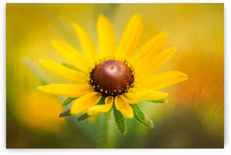 Brown Eyed Susan by Michel Soucy