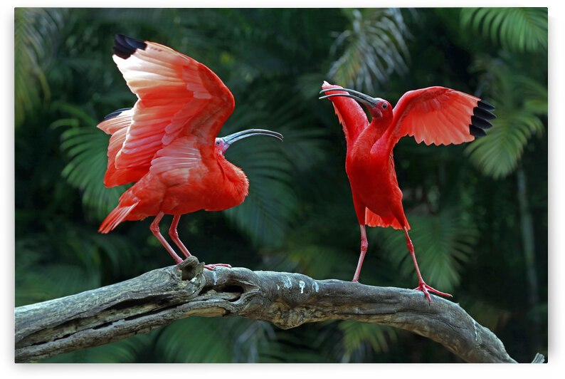 Animal Bird Guara Brazil by fabiomsalles