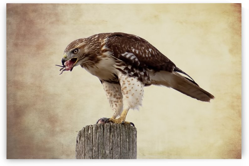 Meal Time for a Hawk by Michel Soucy