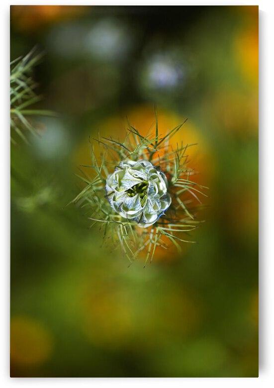 Looking Over Nigella Bloom by Joy Watson