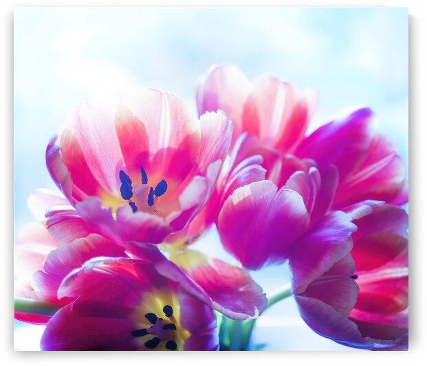 tulipe  by Jean-Francois Turcotte