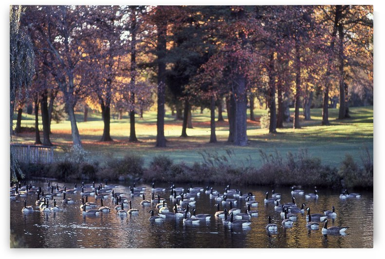 Geese On A Pond Photograph by Katherine Lindsey Photography