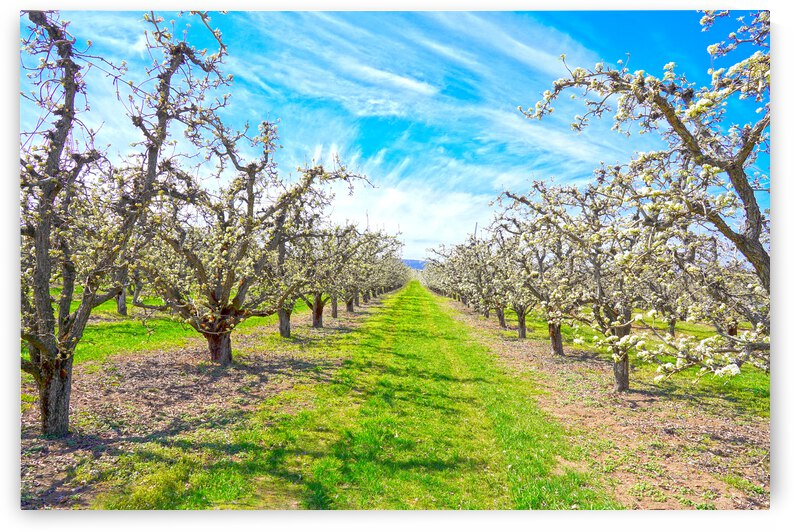 Spring at the Orchard Hood River Valley   Oregon Columbia Gorge by 360 Studios