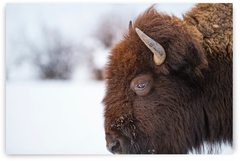 Yellowstone National Park Bison by One Simple Gallery