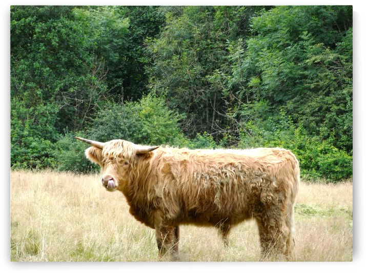 Hairy Coo - Scottish Highlands by 24