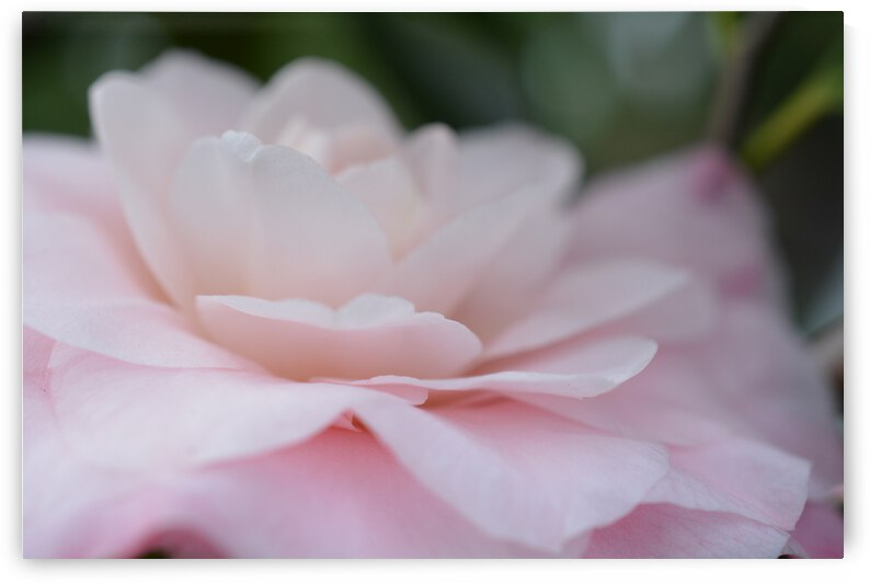 Soft Pink Rose Photograph by Katherine Lindsey Photography