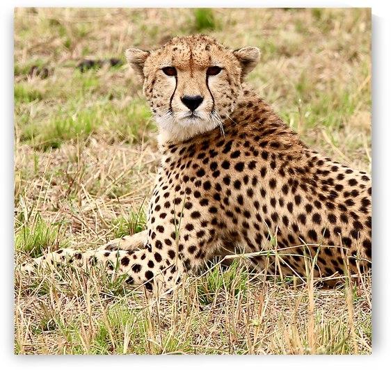 Cheetah by David M Loss