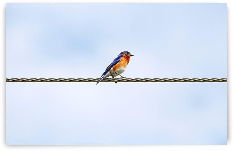 Bluebird On Wire by Deb Oppermann