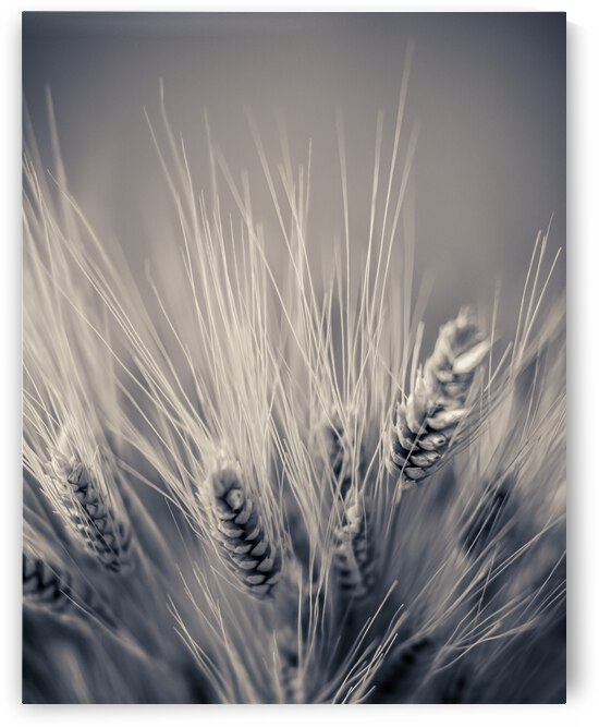 Wheat Sheaves by Dave Therrien