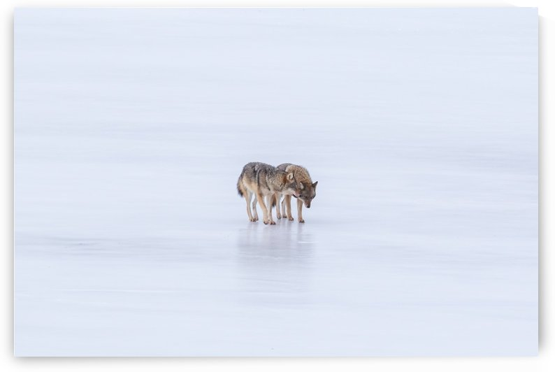 Two Coyote by Michel Soucy