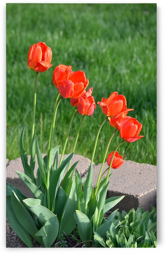 Red Tulips by Michelle K Wood