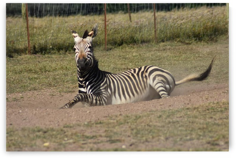 Zebra 3 by Desirae Blackmore