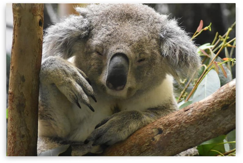 Koala 2 by Desirae Blackmore
