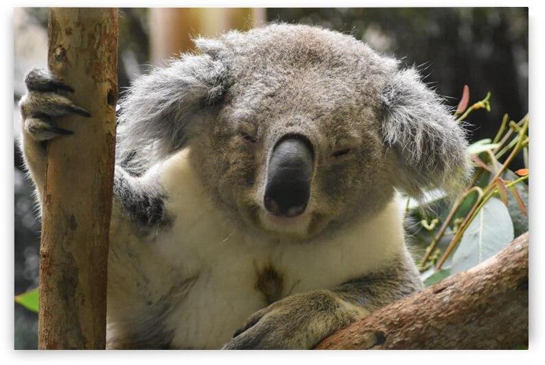 Koala by Desirae Blackmore
