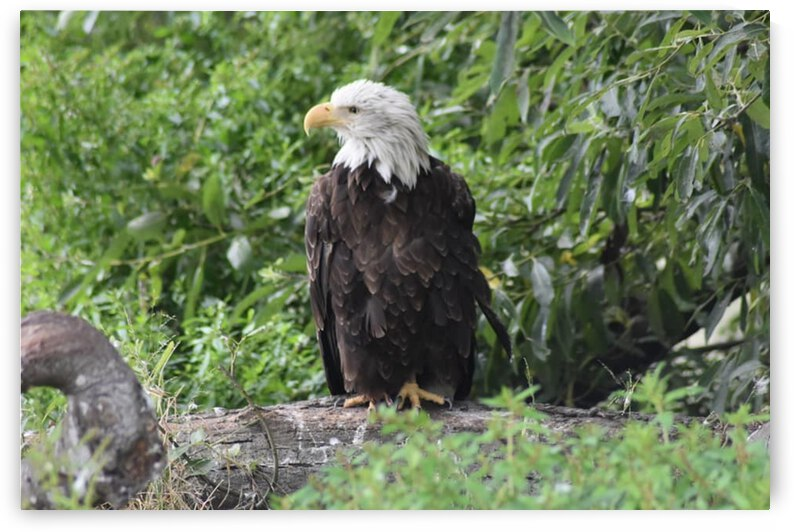 Eagle by Desirae Blackmore
