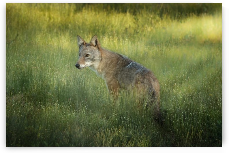 Evening Coyote by Michel Soucy