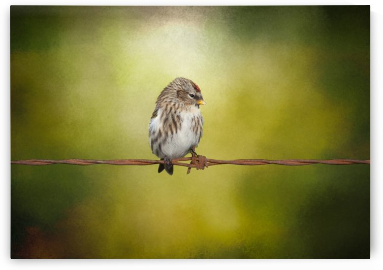 Redpoll on a Wire by Michel Soucy