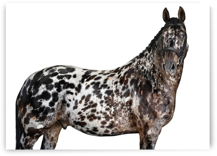 Spotted Horse Portrait by Clever Lark Photo