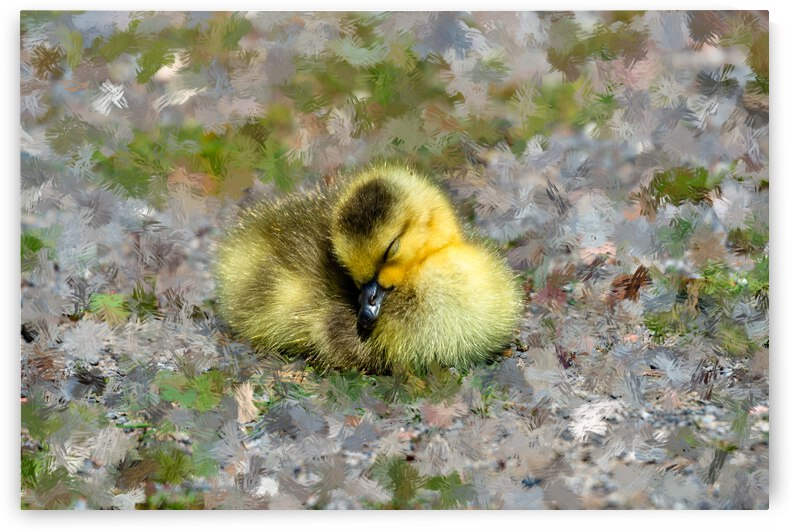 Sleeping  Gosling by PitoFotos