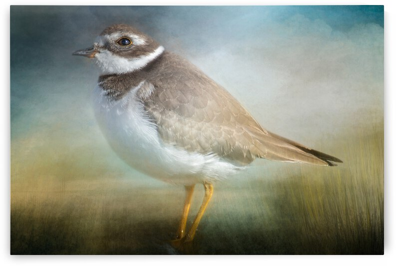 Semipalmated Plover by Michel Soucy