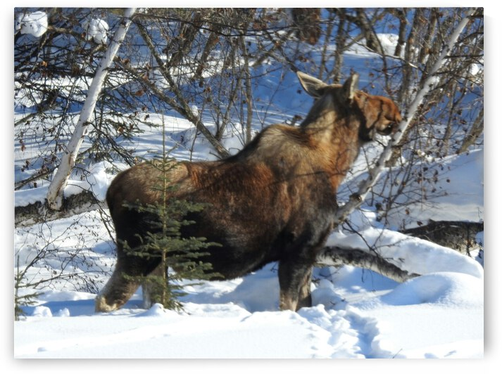 Hungry Moose by Cindy Rogers