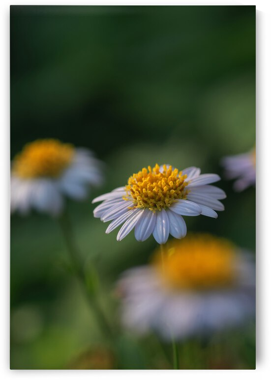 Close-up view of daisy flower in bloom by Krit of Studio OMG