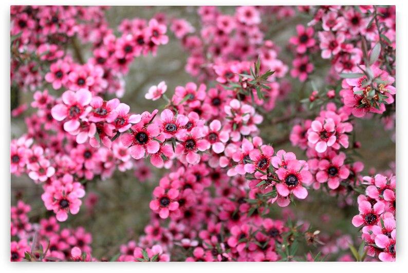 Pink Manuka by Ess Reed