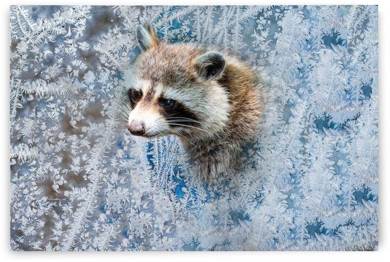 Sad raccoon by PitoFotos