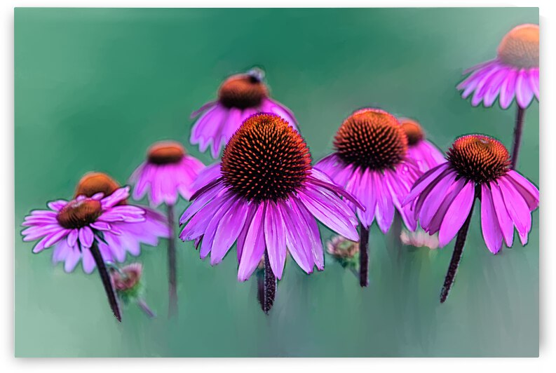 Frozen In Time - Echinacea by PitoFotos