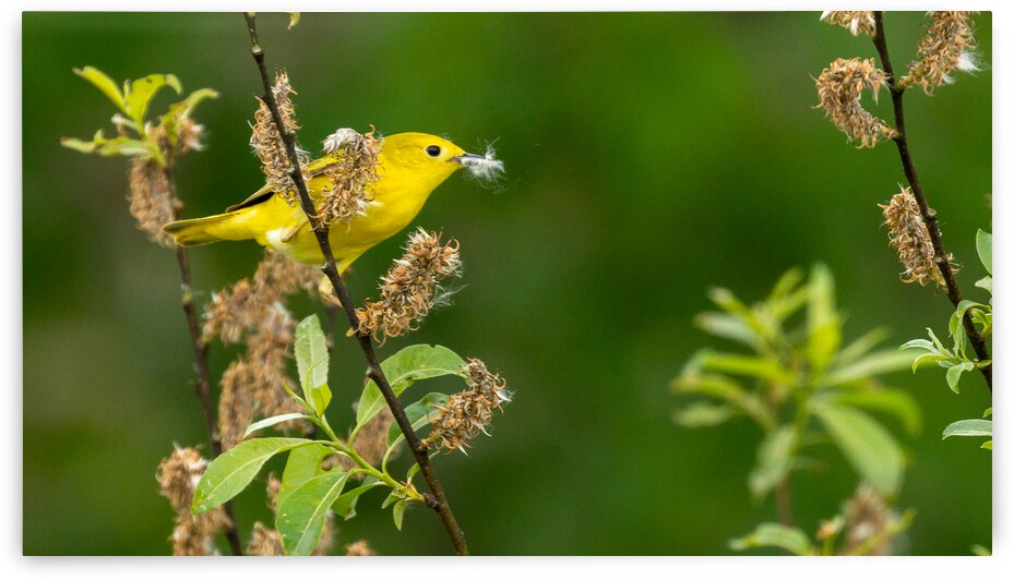 Yellow Warbler in Willow by Joe Riederer