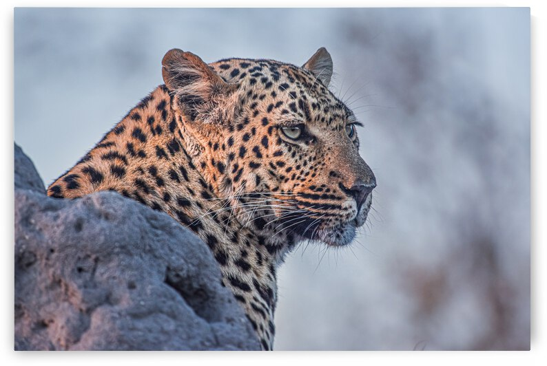 Leopard by Ava Sinha